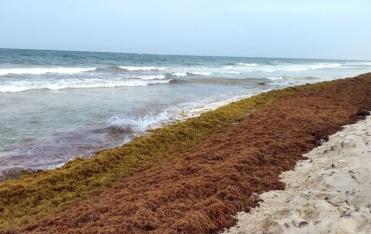 Expertos proponen desarrollos en bioenergía para solucionar la problemática del sargazo en el caribe mexicano